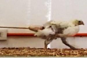 dino chicken tail