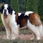 Saint-Bernard-Dogs
